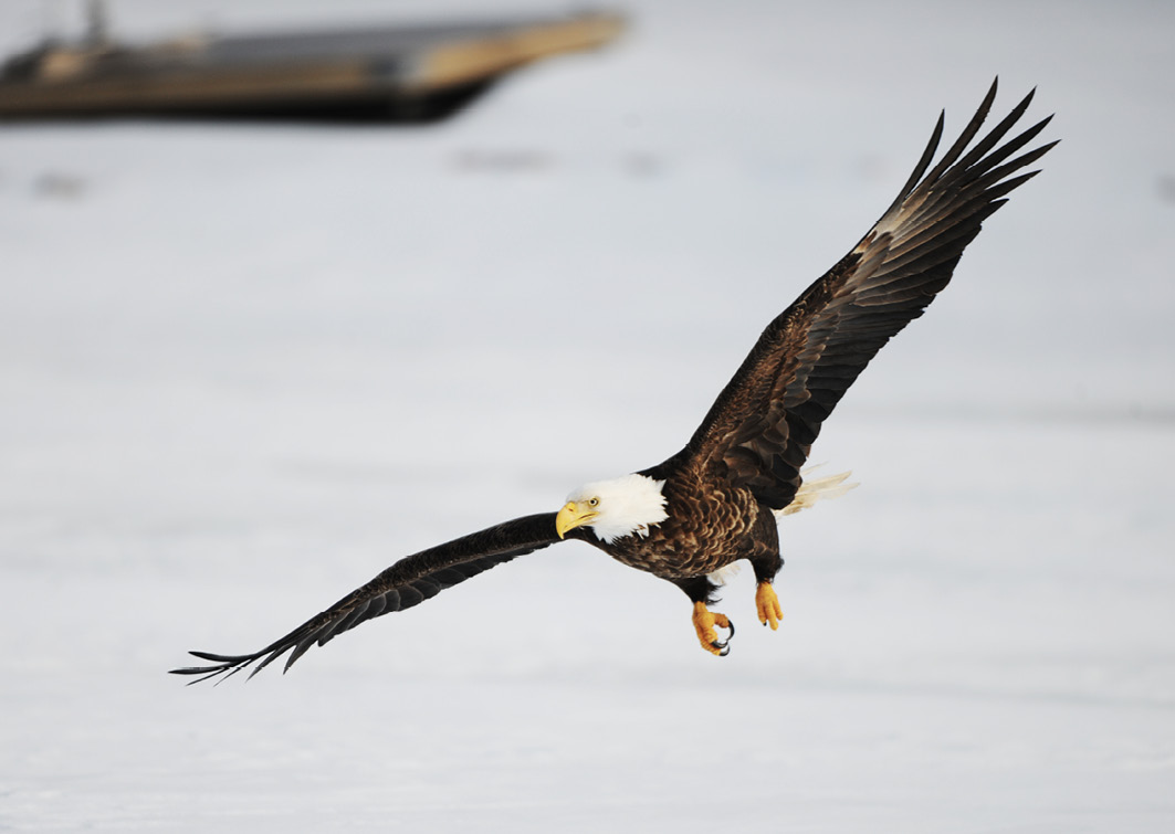 Dieser Adler setzt zum Sturzflug an, um unsere Köder zu inspizieren