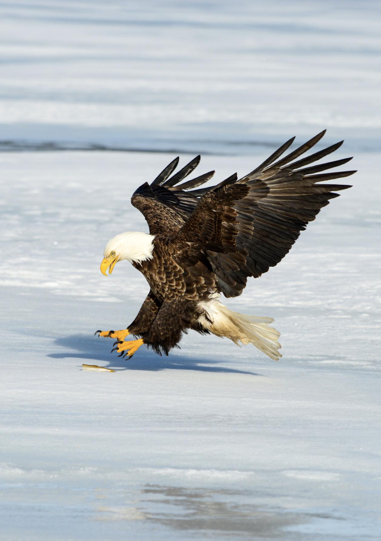 Die Adler nehmen unsere Fischköder endlich an