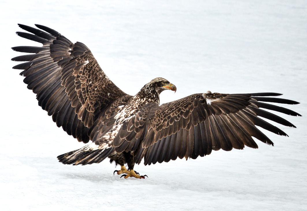 Ein Jungadler verteidigt seine Beute