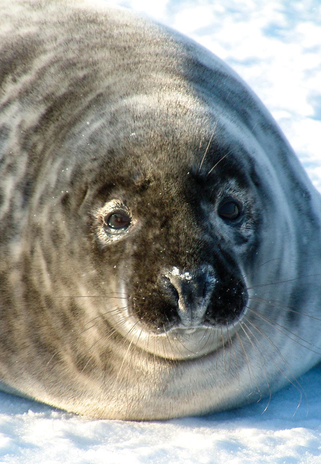 Robbe in der Wintersonne aus 1 Meter Entfernung fotografiert