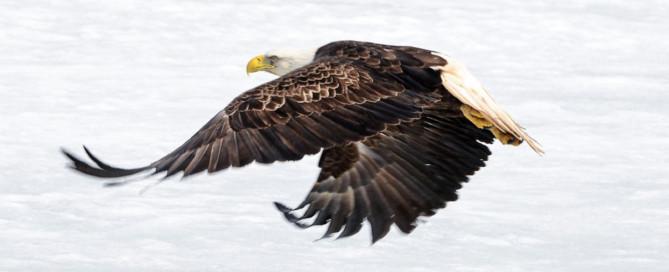 Ein ausgewachsener Adler setzt zum Angriff an