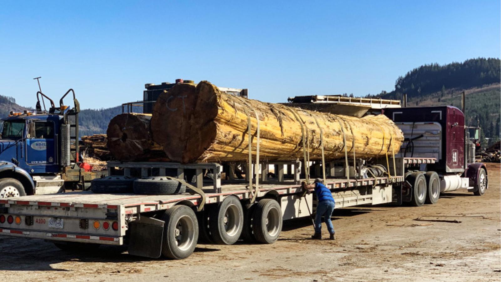 Ein alter Baum geht auf die Reise – von der kanadischen Westküste an die Ostküste