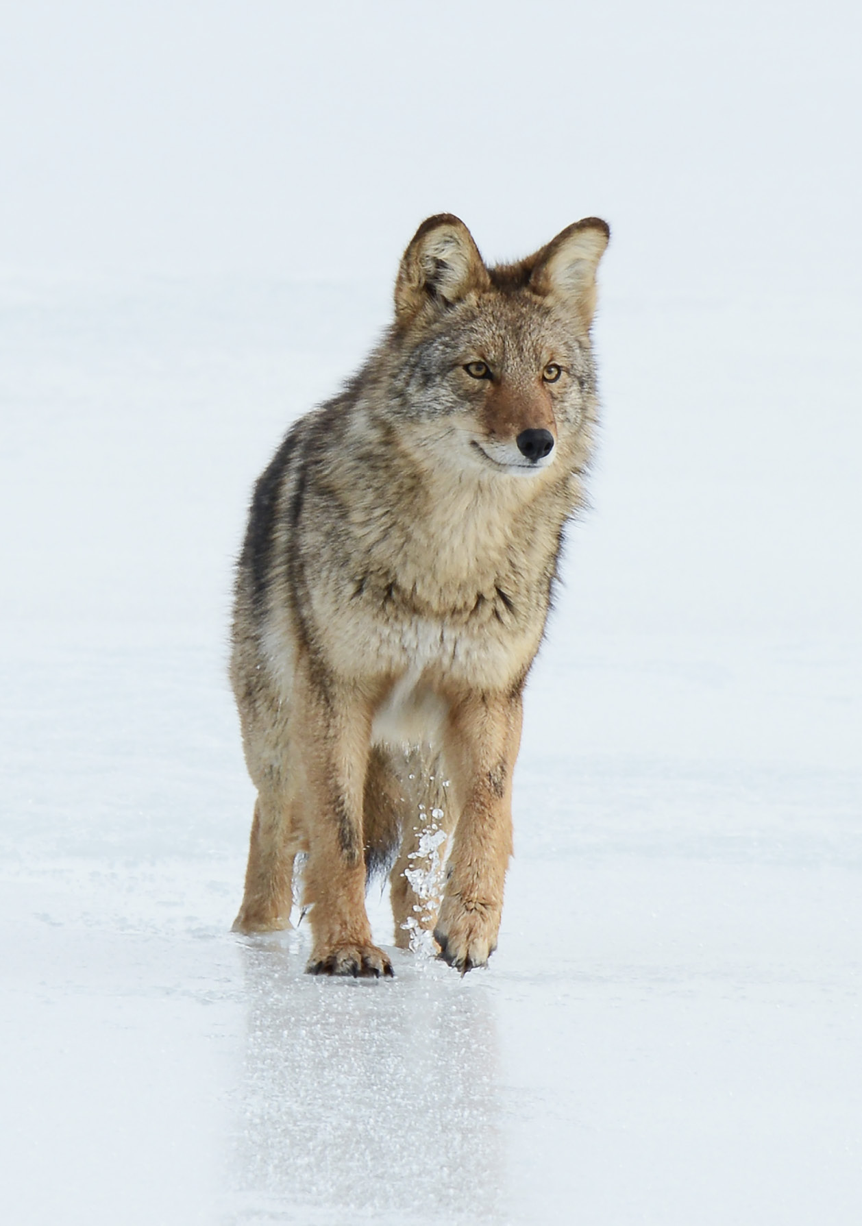 Kojote auf Cape Breton