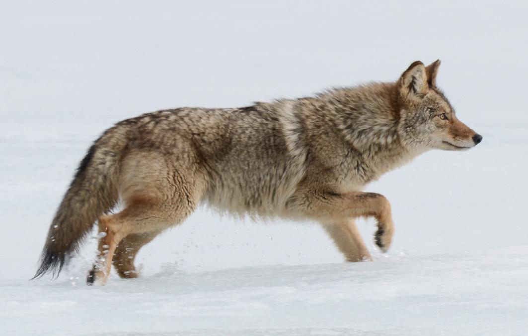 Kojote pirscht sich an