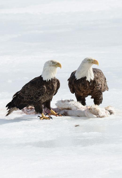 Adler mit unserem Köder
