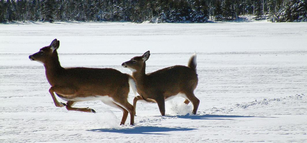 Kojoten treiben Weißwedelhirsche auf den See hinaus