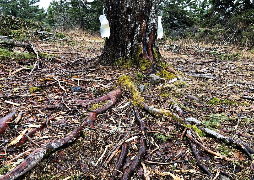 """Durch die Wurzeln fließt das begehrte """"Maplewater"""" in den Stamm des Zuckerahornbaumes"""