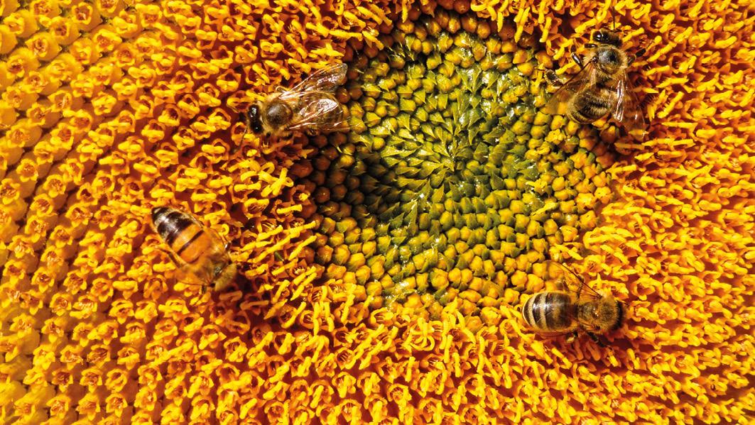 Sonnenblumen sind ein beliebtes Anlaufsziehl für Bienen und versorgen diese mit ausreichend Pollen